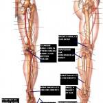 Anatomi af et ben paa Kilimanjaro
