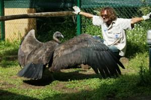 Så stor er en kondor